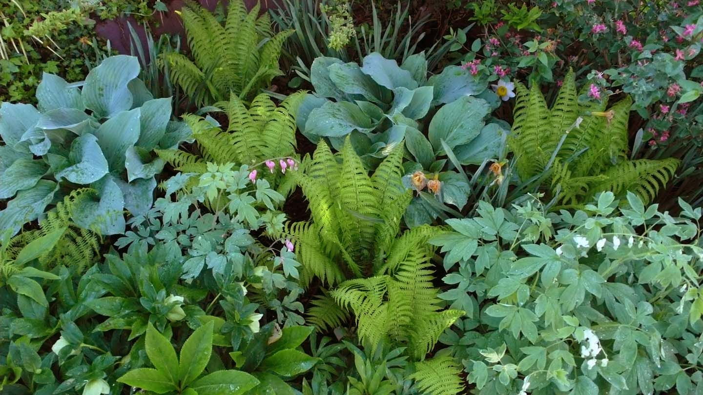 ostrich fern in garden with blue hostas and white and pink. Black Bedroom Furniture Sets. Home Design Ideas