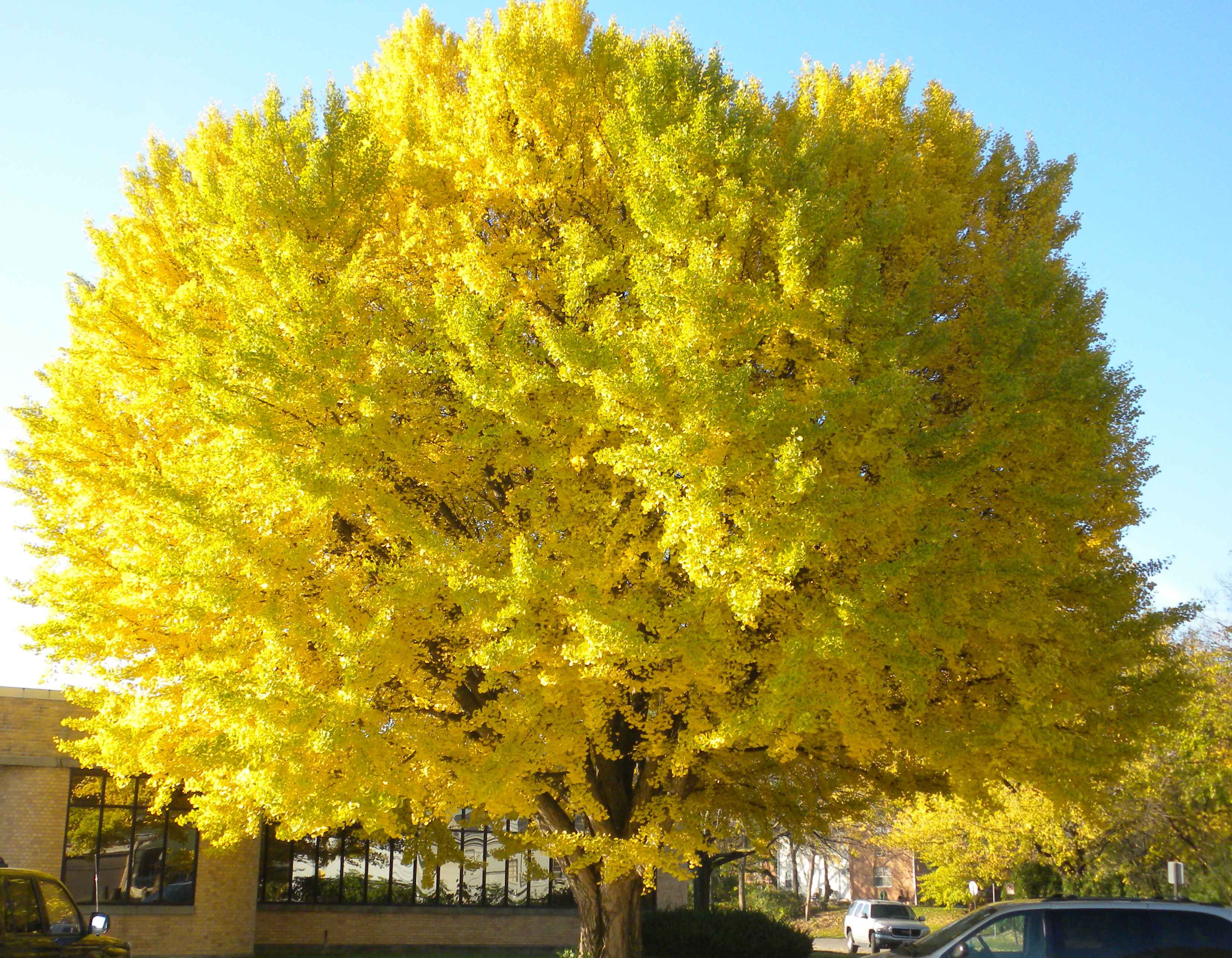 Ginkgo trees bing images flowers gardening for Trees for sale