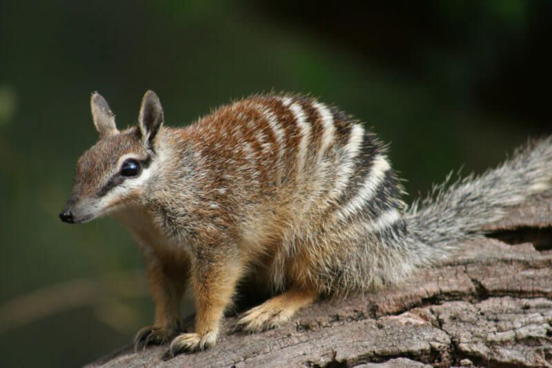 Numbat Animals Beginning With N List Numbat Animals Animals