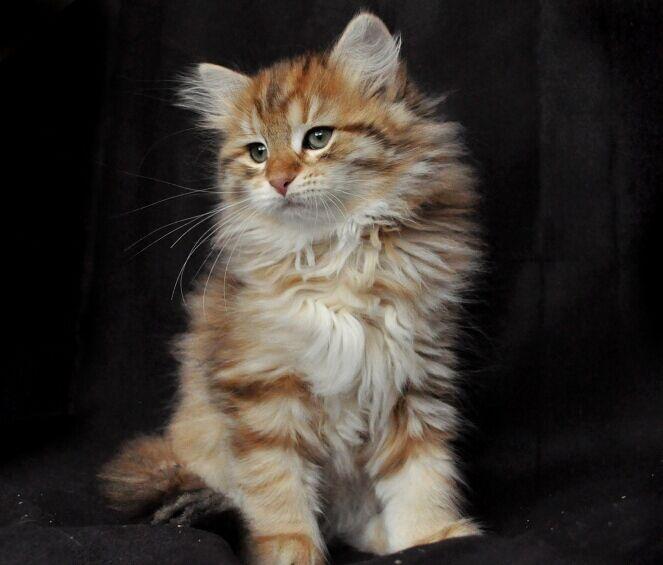 Golden Siberian Kitten Olissa 10 Weeks Old