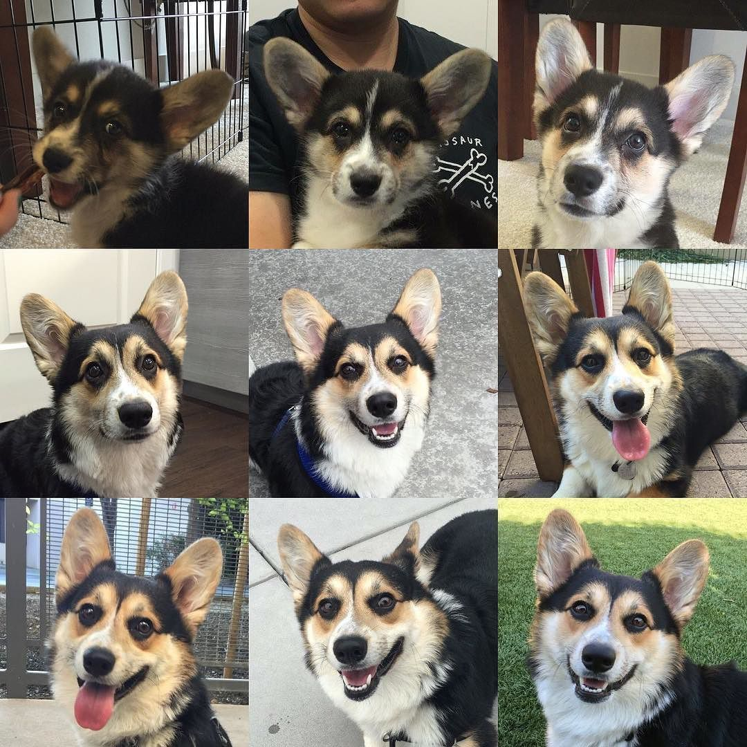 Nine Months Of Changes I Ve Been With My Humans For Almost A Year Now Corgi Dogs Animals
