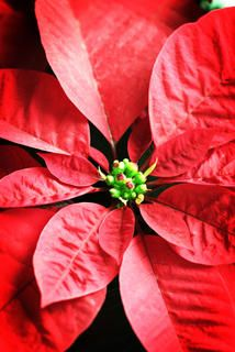 The Meaning Of Christmas Told Through A Mexican Folktale Meaning Of Christmas Legend Of The Poinsettia Poinsettia Flower