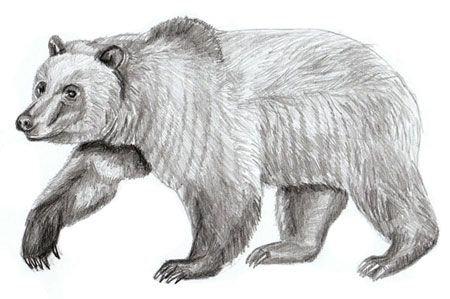 How to Draw a Bear – Realistic Bear Draiwng Step By Step