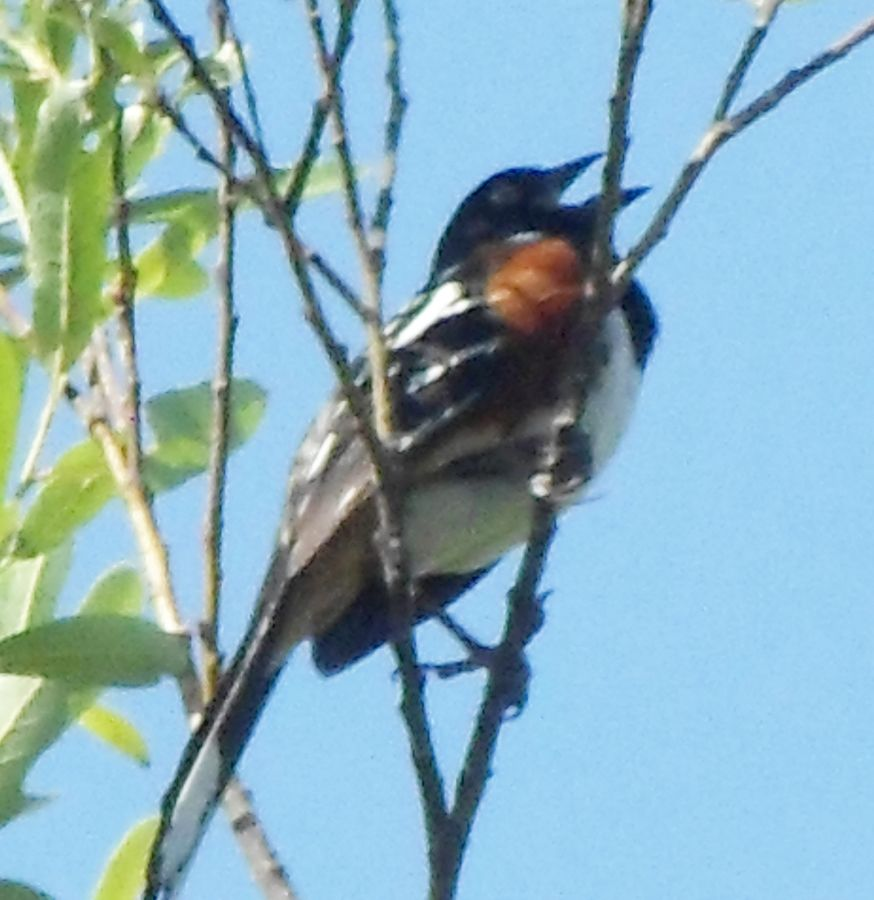 20140526 Spotted Towhee (Pipilo maculatus) are native to Western America. This is a male singing in the tree tops (Arroyo Willow here) in the spring.