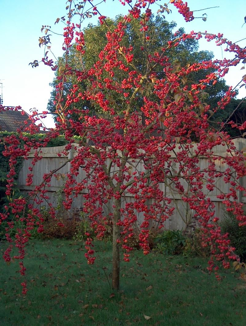 malus 39 red sentinel arbustes pinterest arbuste. Black Bedroom Furniture Sets. Home Design Ideas