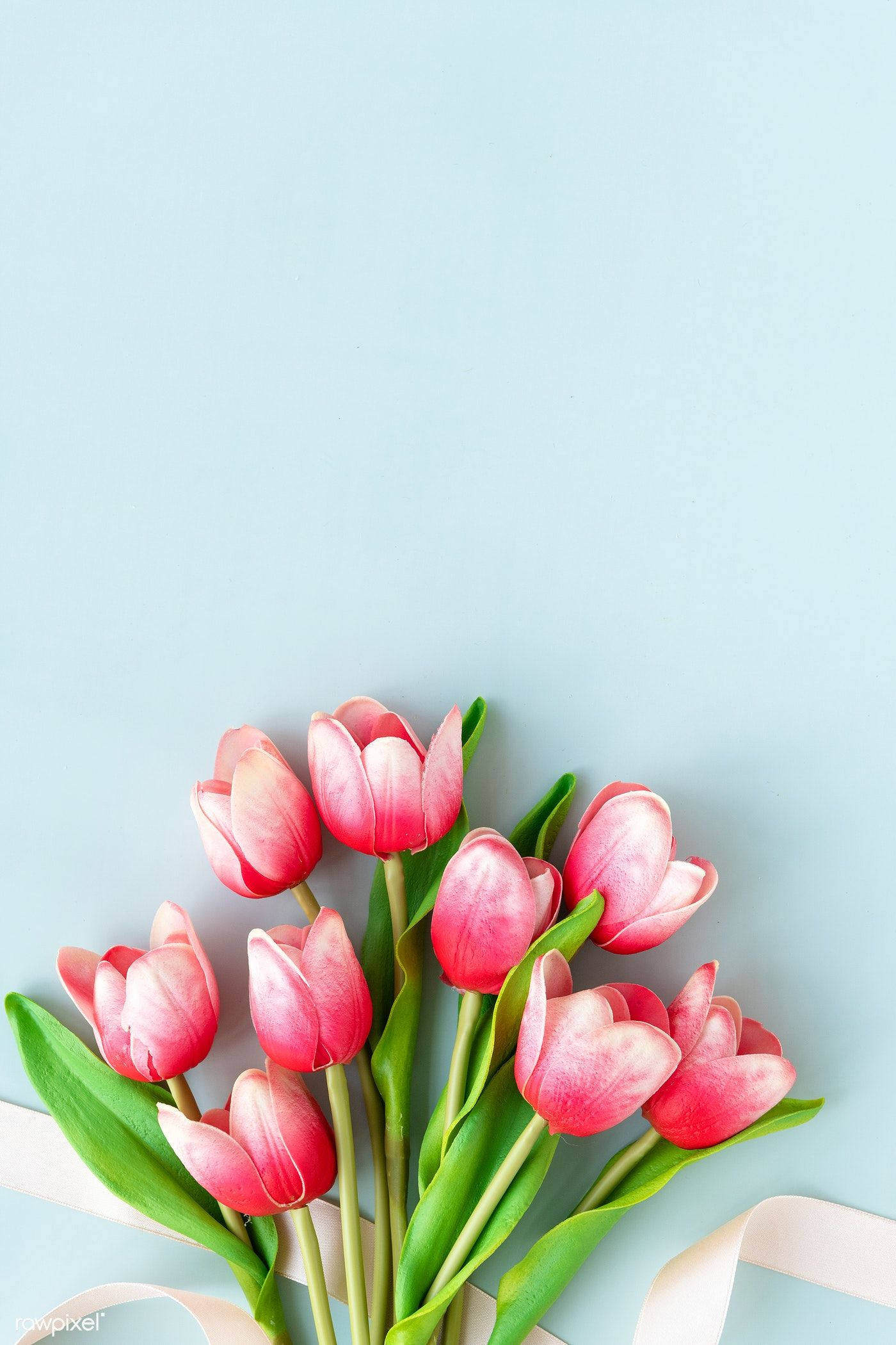 Download Premium Image Of Red And White Tulip On Blank Blue Background White Tulips Flower Background Wallpaper Flower Background Iphone