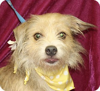 Pin By Stephanie Schneider On Adopt A Pet Cairn Terrier Mix