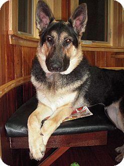 Female 3 And Half Owner German Shepherd Dogs Dog Adoption Kitten Adoption