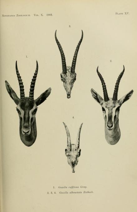 v. 10 (1903) - Novitates Zoologicae. - Biodiversity Heritage Library