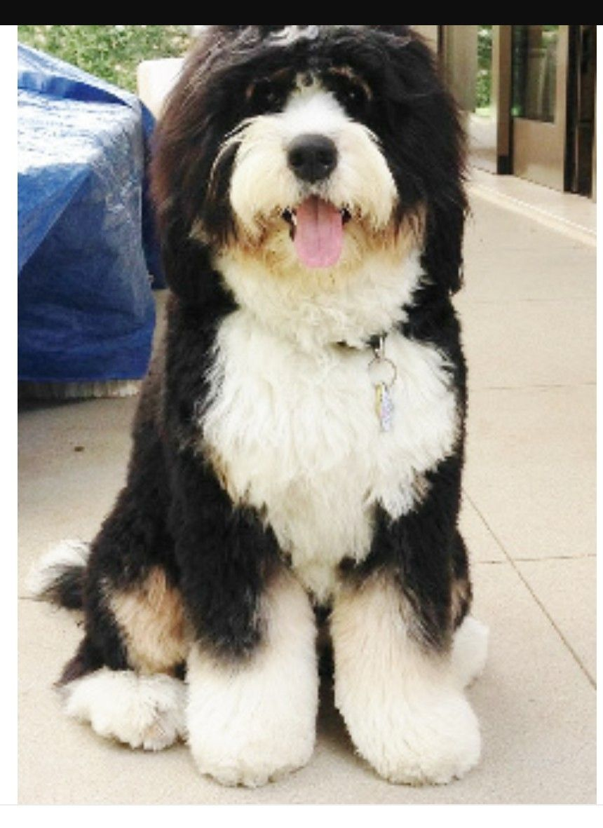 Oh My Goodness Big Fluffy Bernedoodle Puppy Bernedoodle Puppies