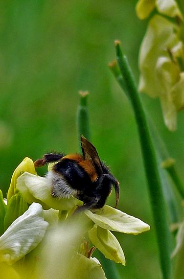 http://maggs224.hubpages.com/hub/British-Bumblebees