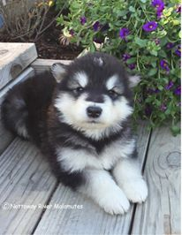 Alaskan Malamute Puppy For Sale In Courtland Va Adn 20215 On