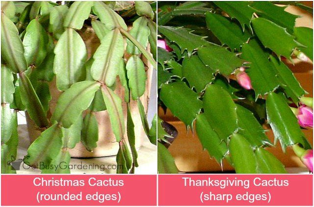 Holiday Cactus Care How To Grow Thanksgiving and Christmas Cactus