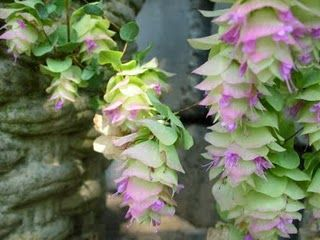 Hop-flower oregano