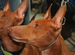 Cirneco Dell Etna Bubblews Expensive Dogs Dogs Dog Photos