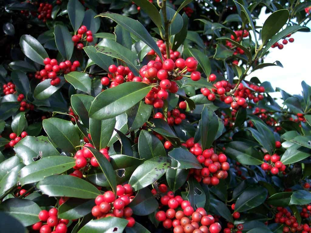 Houseplant Care Guides The Lore Of Christmas Plants