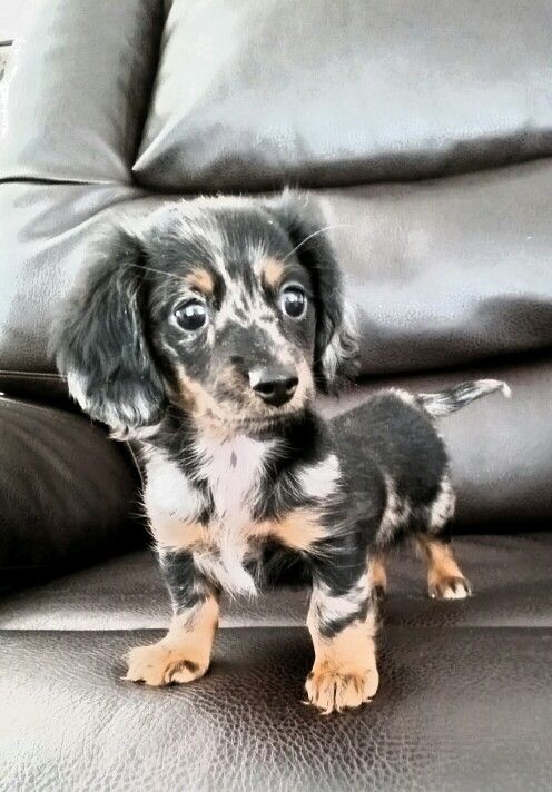 Mini Dachshunds Puppies For Sale Super Adorable Visit Http Www Amazingdogtales Com Gifts For Dachsund Love Daschund Puppies Cute Baby Animals Cute Dogs