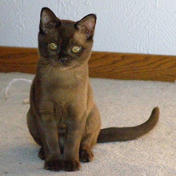 Burmese Kitty Burmese Cat Cat Personalities Burmese Kittens