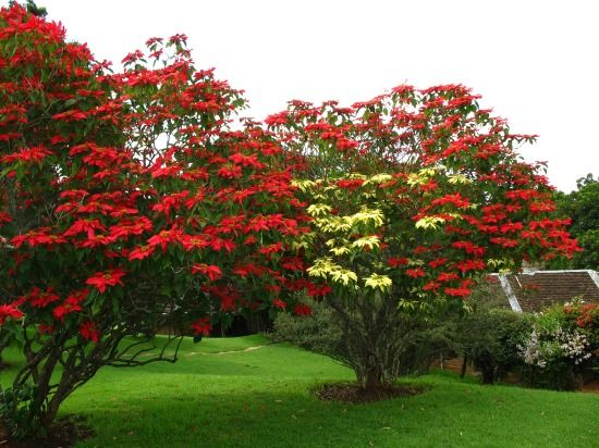 Poinsettia Plants Can Grow Into A Medium Sized Tree In Their Native Habitat Greenhouse Growers Use Special Te Poinsettia Plant Unusual Plants Planting Flowers