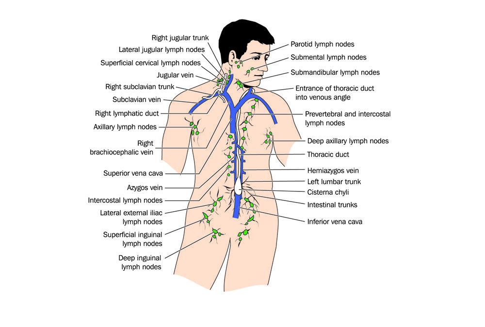 Lymph Node - Redorbit | Lymph system | Pinterest | Lymph nodes ...