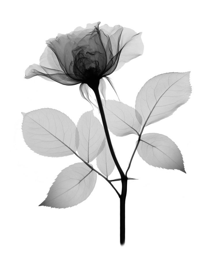 X Ray Flower Tattoo On The Left Inner Arm Tattoo Artist: Image Result For PHOTODISC X RAY ROSE