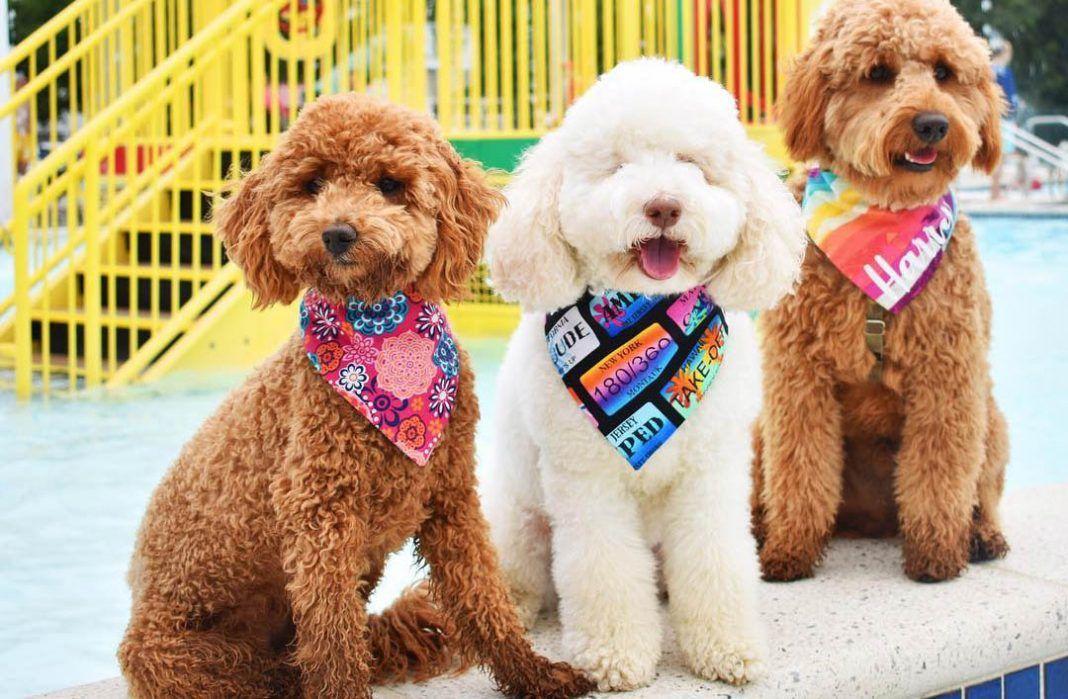 Poodle Mixes Top 25 Cutest Designer Dogs You Should Know