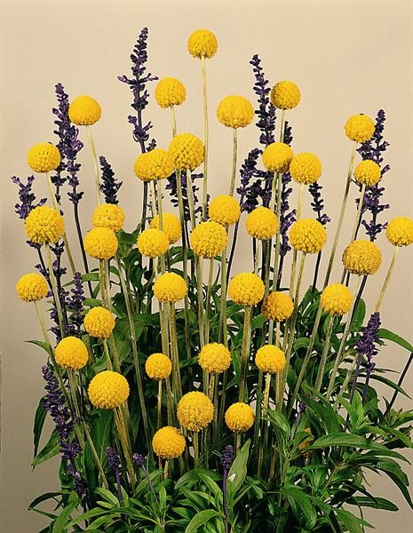 Craspedia Large Lavender Plant With With Dried Billy Balls For