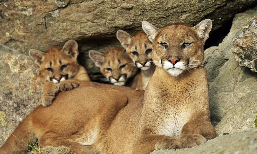 Cougars and their cubs