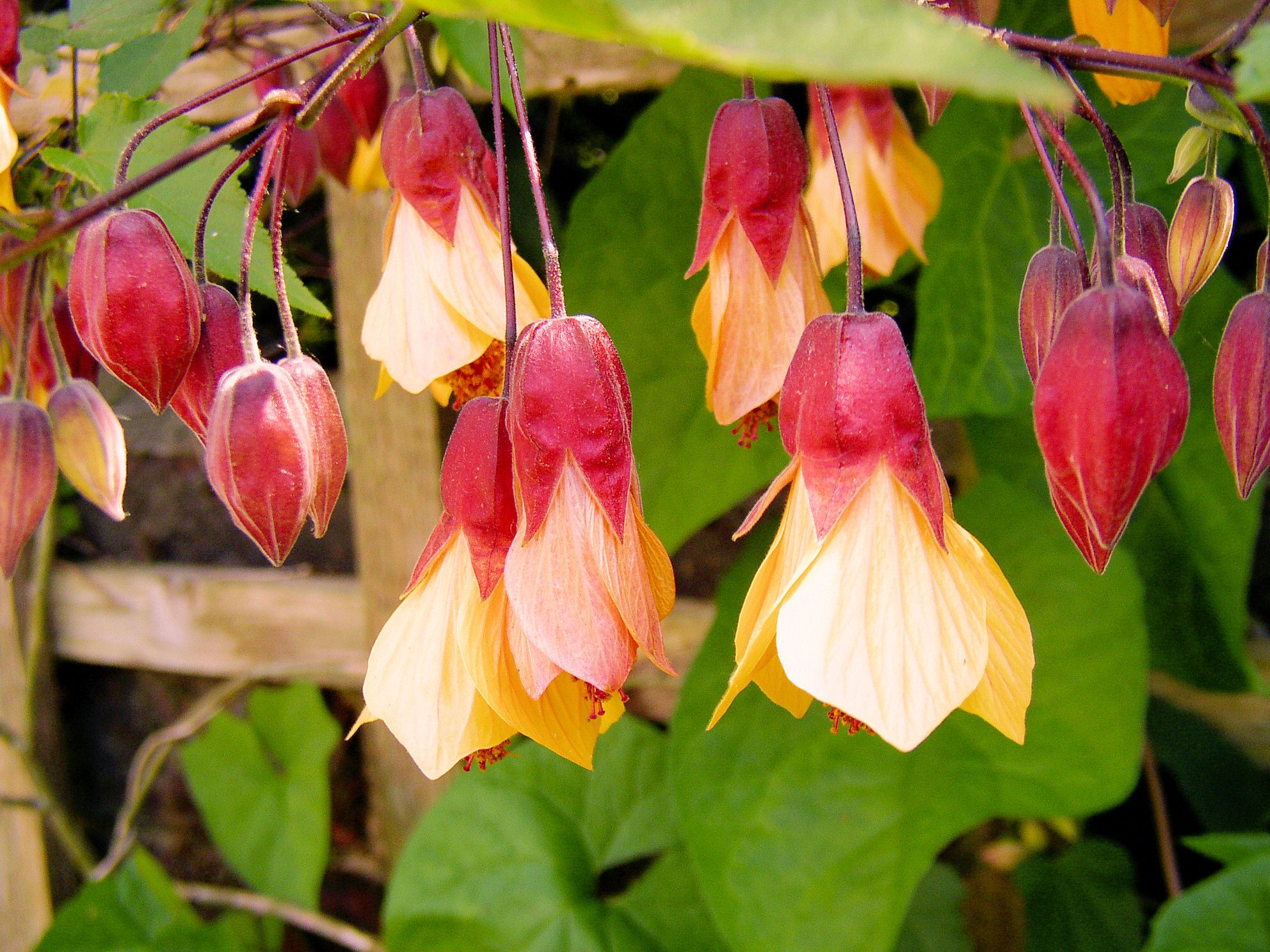 Top 10 Climbing Plants For A Small Trellis Plants Gardens And Flowers