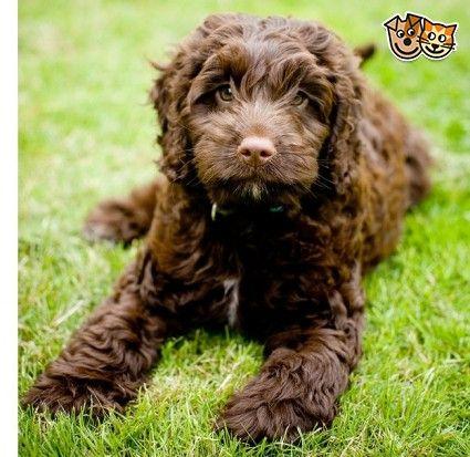 F1 Chocolate Cockapoo Pra Fn Clear Darlington County Durham Pets4homes Cockapoo Dog Cockapoo Yorkshire Terrier