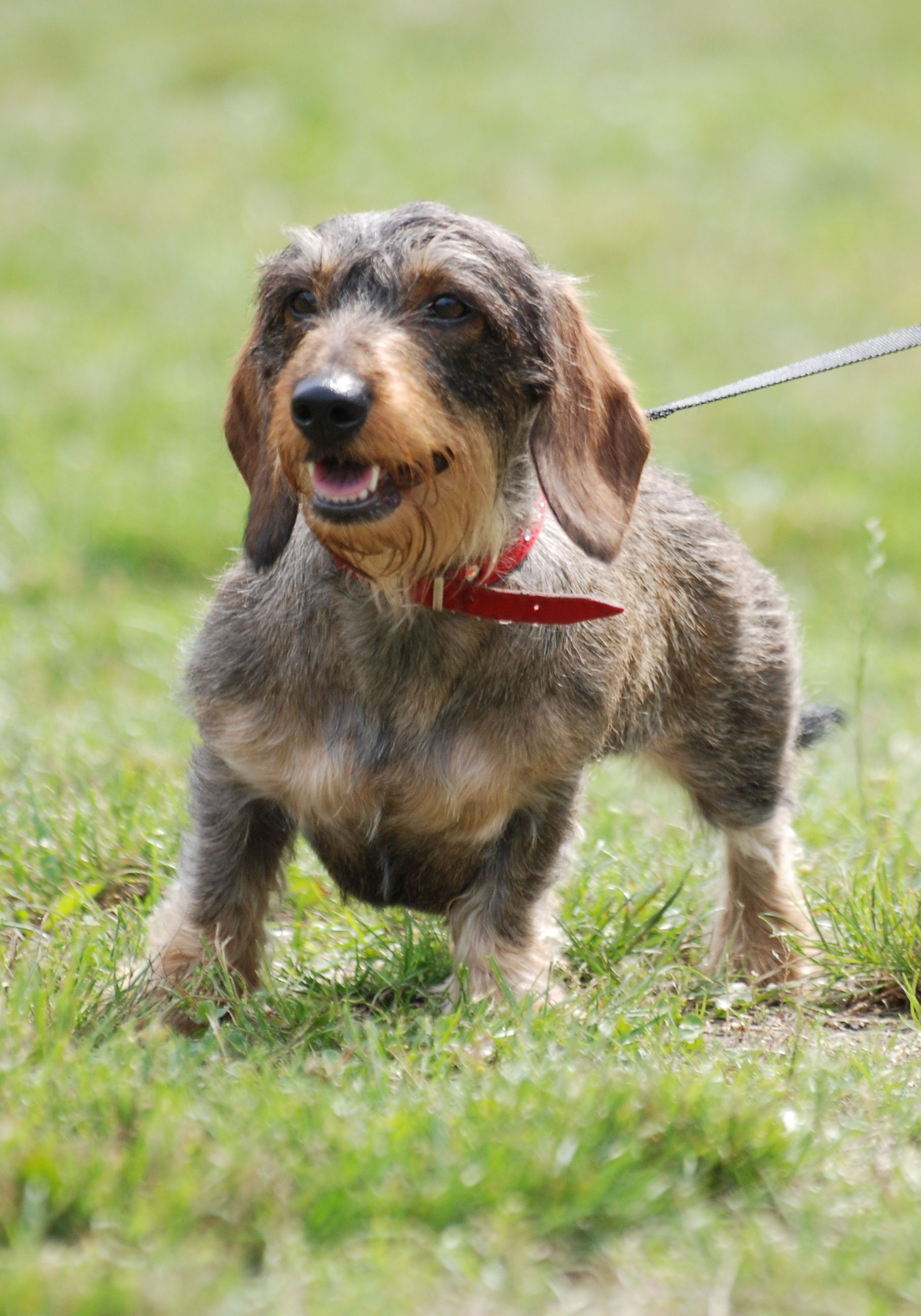 dachshund dog | File:Wire-haired Dachshund R 01.JPG - Wikipedia ...