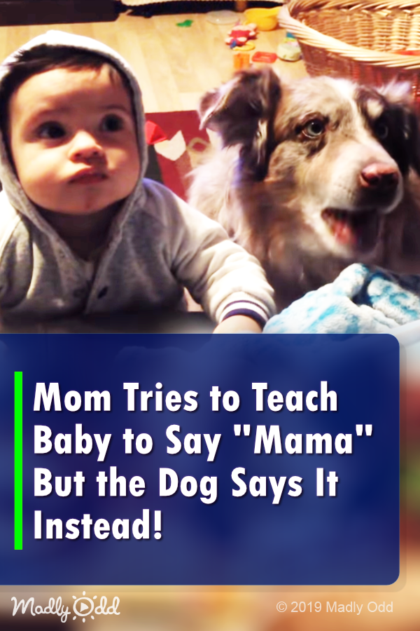 Mom Tries To Teach Baby To Say Mama But The Dog Says It Instead Cute Baby Videos Cuddly Animals Dogs