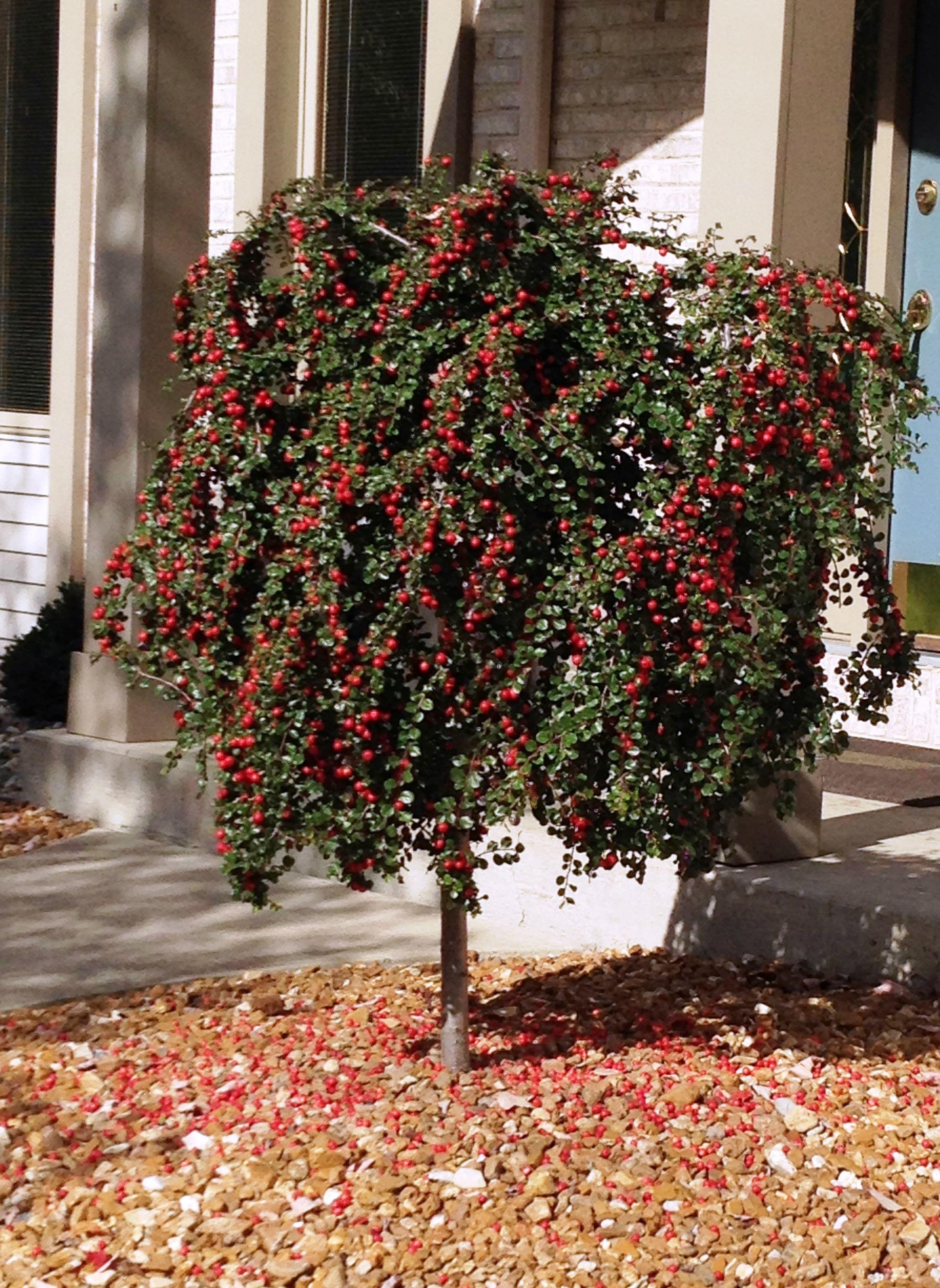 Cranberry Cotoneaster - Monrovia - Cranberry Cotoneaster. Nicely ...