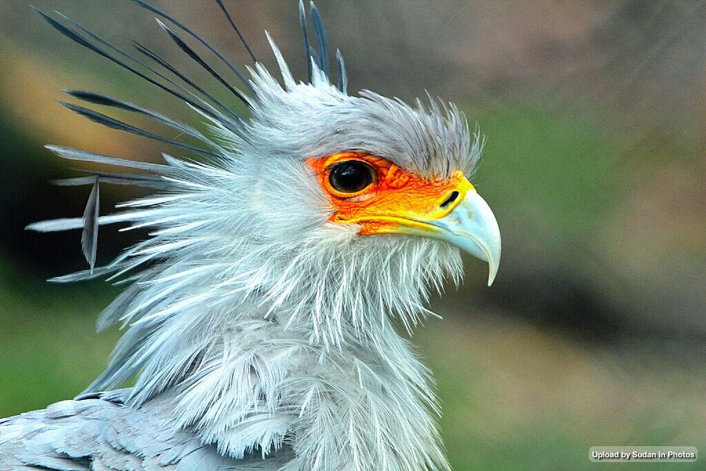 Secretarybird Appears On Sudan S Emblem صقر الجديان يظهر في شعار السودان By K Vergulst Sudan Emblem Secretarybird Animales