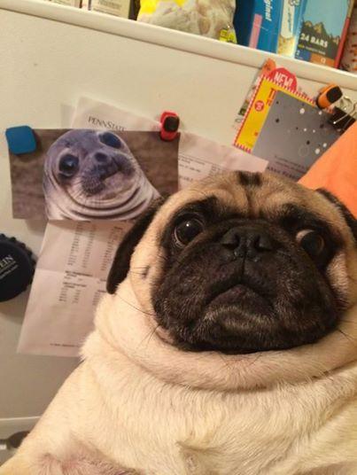 Pug Look Like Seal Or Seal Look Like Pug Pugs Pugs Funny