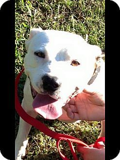 Albemarle Nc American Bulldog Mix Meet Sampson A Dog For Adoption American Bulldog Mix American Bulldog Dog Adoption
