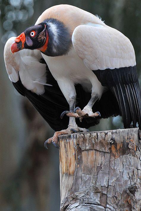 Zopilote Rey King Vulture Nombre Científico Sarcoramphus Papa