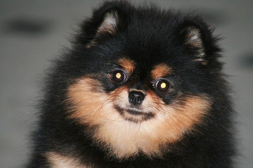 Black And Tan Pomeranian Puppy Displaying 17 Gallery Images