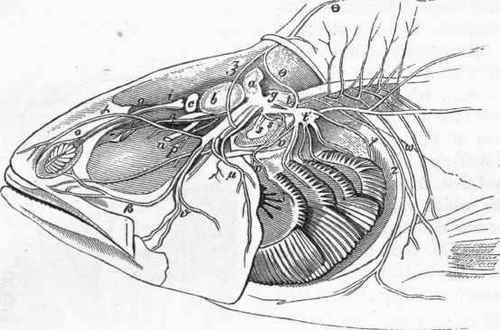Brain And Cerebral Nerves Of The Perch After Cuvier