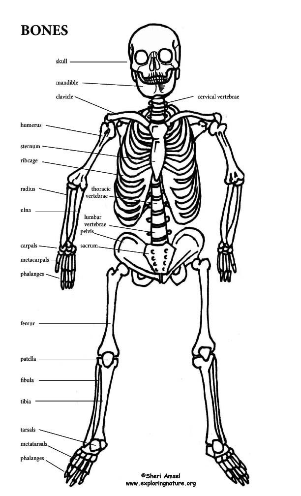 learn about the skeletal system on exploringnature org