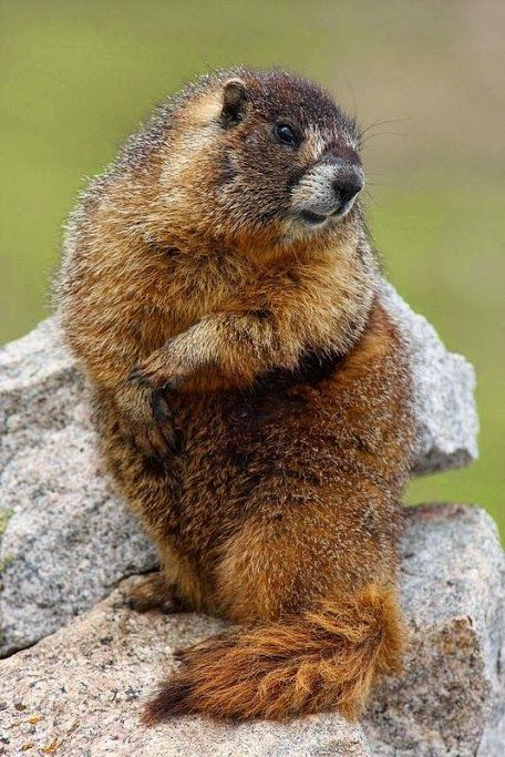 Yellow bellied Marmot ~ Peter Eales