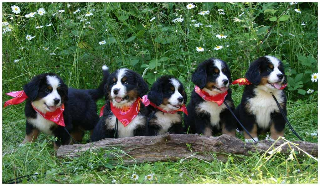 Coburg Hills Bernese Mountain Dogs Available Bernese Mountain Dog