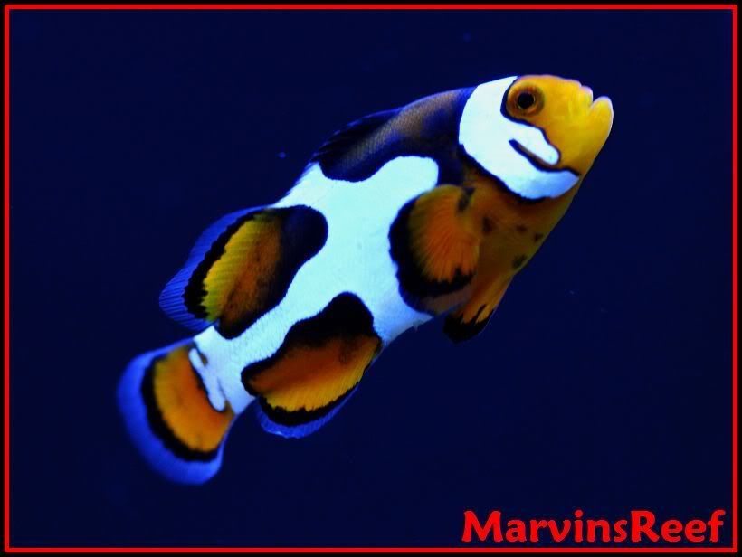 Marvinsreef Clownfish Anemone Tank Page 13 Large Reefs Clown Fish Clownfish Anemone Fish