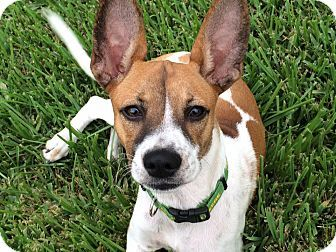 Pictures Of Maggie May A Fox Terrier Smooth Beagle Mix For