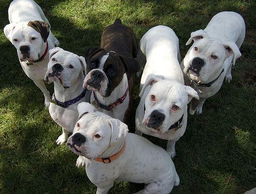 The Boxer Rebellion White Boxers White boxer dogs, Boxer