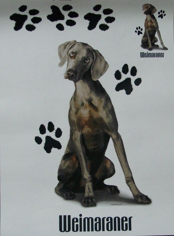 Weimaraner Dogs By Chrissy Franczak On Weimy Dog Poster