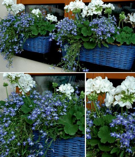 White Geraniums and Blue Trailing Lobelia. (I've done this arrangement with red Geraniums and White Trailing Lobelias too or white trailing Petunias and they look beautiful.) -   24 white garden pots