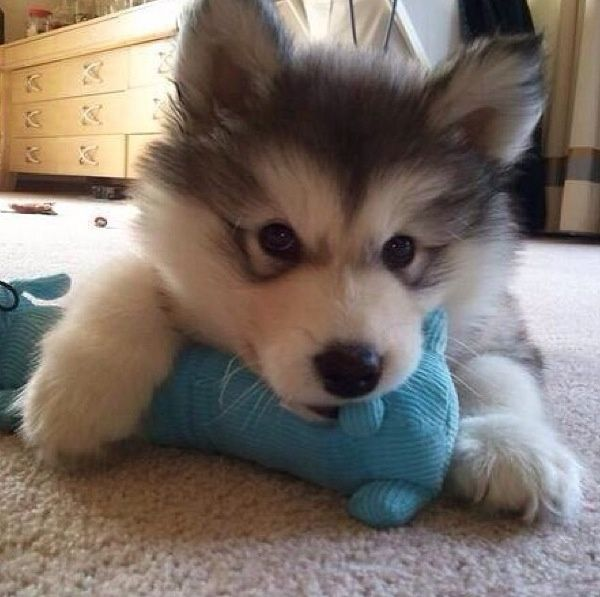 Husky Puppy With A Little Toy Cute Animals Cute Dogs Pets