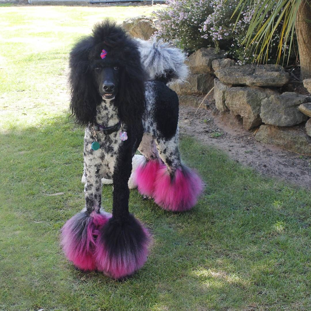 Pin By Suzi On Dogs Poodle Hair Dog Grooming Shop Poodle Grooming