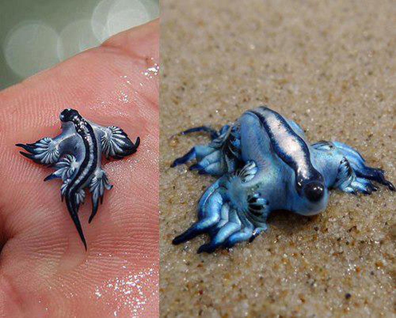 18 Bizarre Tiere Die Es Wirklich Gibt Aber Niemand Kennt Watson Glaucus Atlanticus Blue Dragon Bizarre Animals